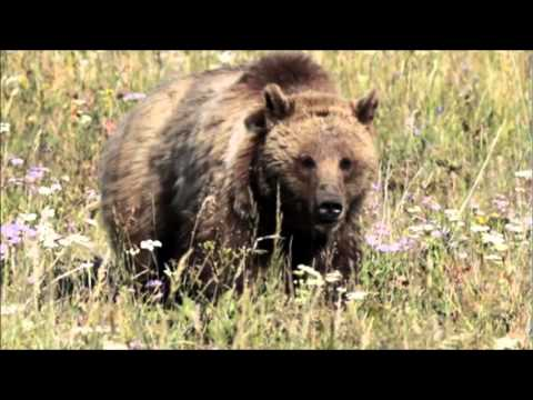 Grizzly Bear Attacks Group Of Hikers In Yellowstone