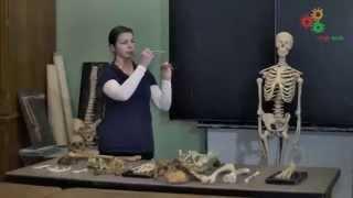 Анатомия человека. Строение скелета (И. Синёва)