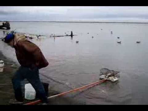 Crabbing at ocean shores wa things to do doovi for Fishing pole crab trap