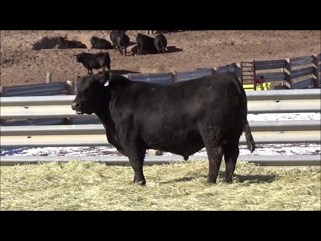 Connealy Angus Lot 474