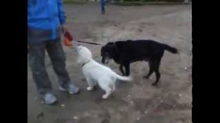 Puppies Playing Together At The Beach!  Golden Retriever, Labrador And Staffy Cross Puppies.