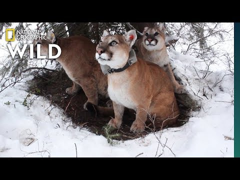 How Mountain Lion Mothers Care for Their Kittens | Nat Geo Wild