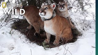 How Mountain Lion Mothers Care for Their Kittens   Nat Geo Wild