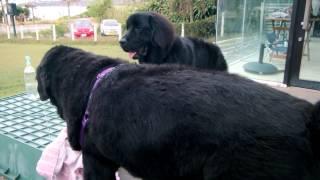 先輩犬Rakunについにご対面! RIKIは自分より大きな犬に会うのはパピー...