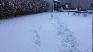 日本スピッツのシャチが雪上をダッシュします(^^)
