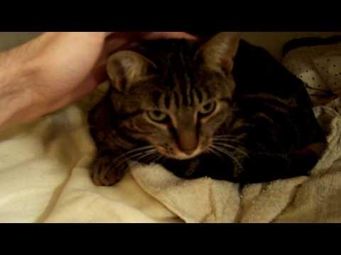 Tiffany the Tabby Cat