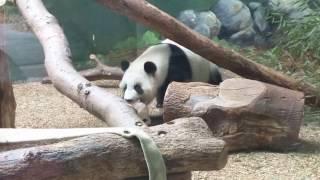 Atlanta zoo -- baby pandas -- too cute!