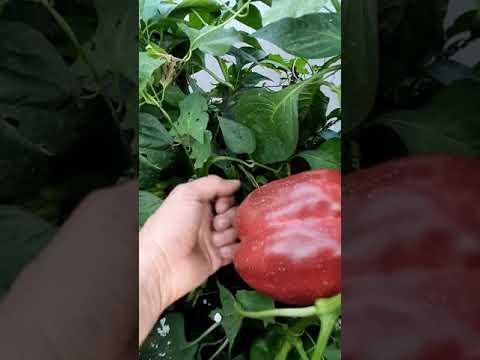 Октябрь. Дача, огород. Посадки малины, свёкла и морковка. Небольшой обзор моего приусадебного хоз-ва