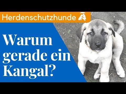Warum muss es denn ein Kangal sein? / Mia and Me DogTV