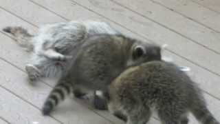 Mother Raccoon Plays With Babies