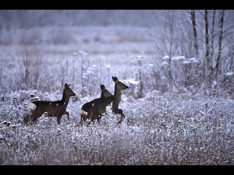 Naliboki Forest wolf and lynx excursion in Belarus