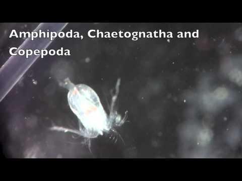 Amphipoda, Chaetognatha and Copepoda