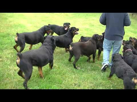 AMAZING ROTTWEILER KENNEL HARDRADA IN NZ 1