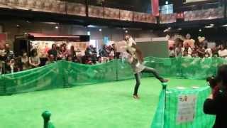 第13回ペットわん博で行われたドッグスポーツショーの様子です! 犬も人...