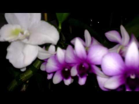 Ночной запах Орхидей