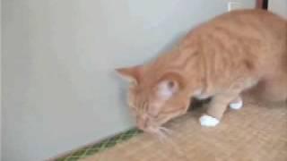 どんぐりの実にじゃれて遊ぶ猫。