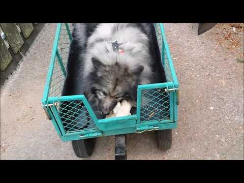 Training Simba to ride in a cart