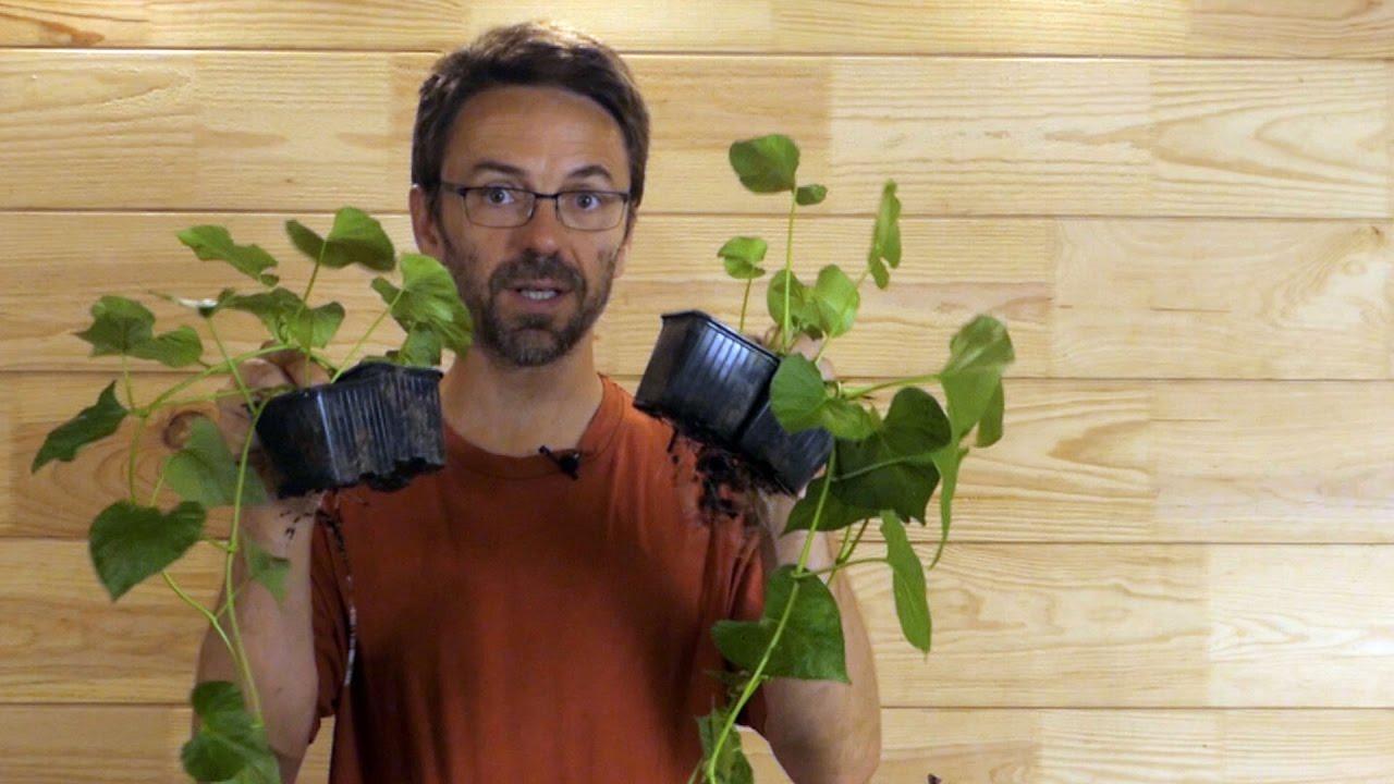 R ussir vos plants de patate douce suite et fin youtube - Acheter plant de patate douce ...