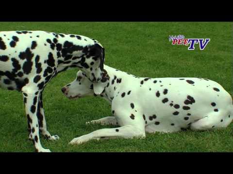 Dalmatiner: Informationen zur Rasse