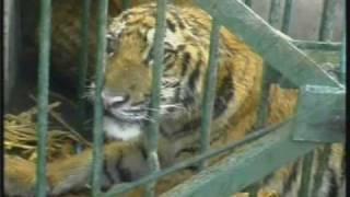 Rescued Tiger Cub - Wildlife Trust of India