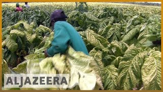🇿🇼 Zimbabwe seizure of tobacco farms hamper production | Al Jazeera English