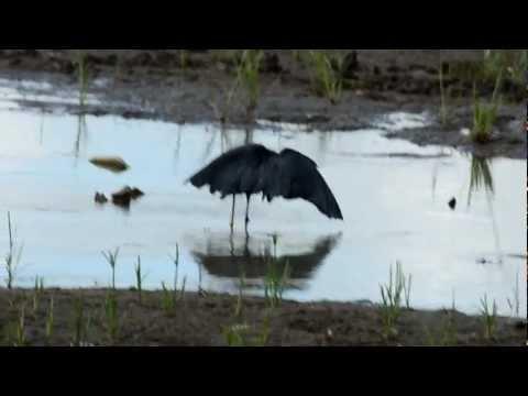 Black Heron (Egret) or Umbrella Bird