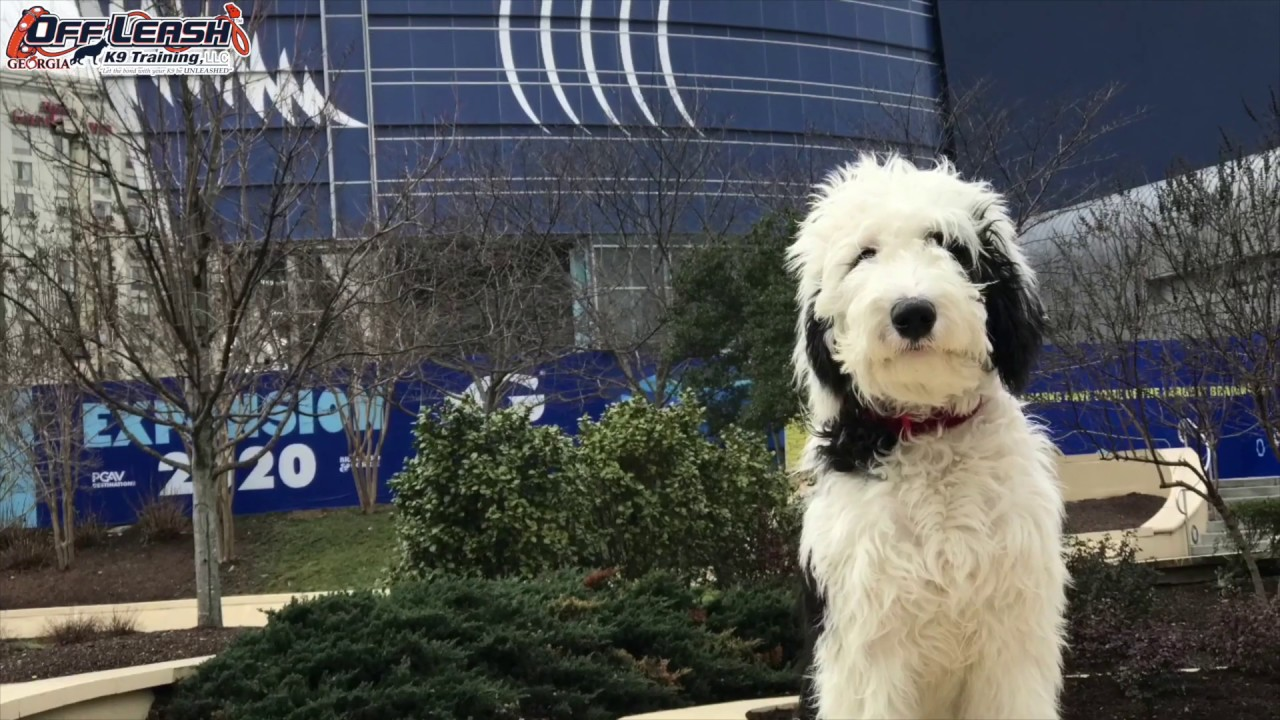 5 Month Old Sheepadoodle