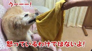 ゴールデンレトリバー女の子7歳 はっちの奮闘記http://mebarukasago.jp/