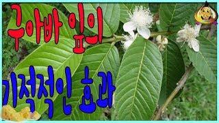최신 새:구아바 잎의 기적적인 효과 KpKr