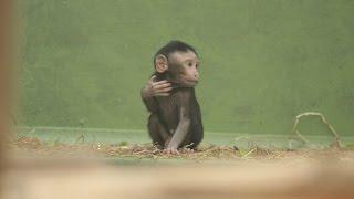 Repeat youtube video Kuifmakaak jong ZOO Antwerpen / Celebes crested macaque baby