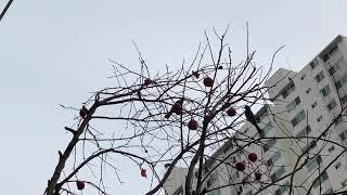 한결 포근해진 오후, 감나무와 새 그리고 고양이가 있는…