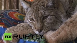 В зоопарке Санкт-Петербурга подружились кошка и рысь