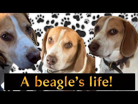 Cute Beagle Day   Dog VLOG