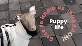 Get to know our puppy! | Puppy life | Life of a pharaoh hound