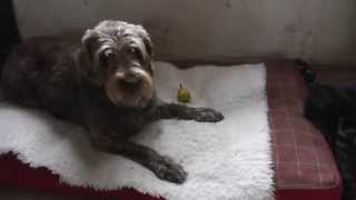 German Wirehaired Pointer Dog Going Crazy