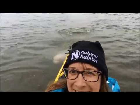 Kayaking with Beluga Whales in Churchill   Traveler Experience