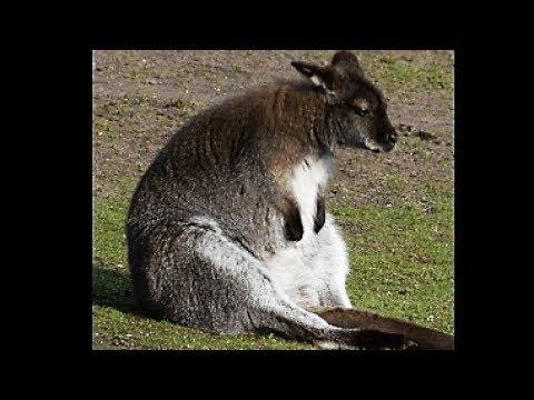 10 Interesting Fun Facts About Kangaroo
