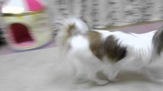 2015.09.15 もうすぐ2歳になる愛犬に「吠えるマルチーズ動画」を見せた...