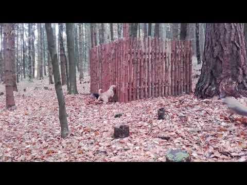 Steirische Rauhaarbracke Aria, Serbische dreifarbige Bracke Cyra und Wildschwein
