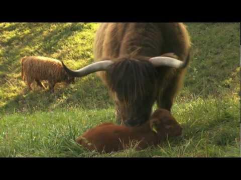 Highland Catte - mit Tradition in die Zukunft