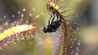 Sundew (Carnivorous Plant) vs Fly