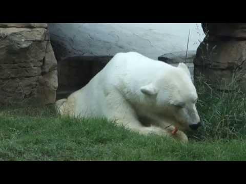 Polar Bear Eating a Carrot