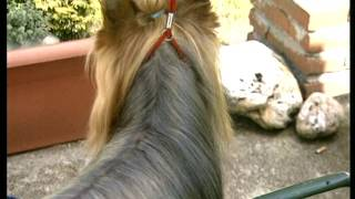 The Yorkshire Terrier - Pet Dog Documentary English