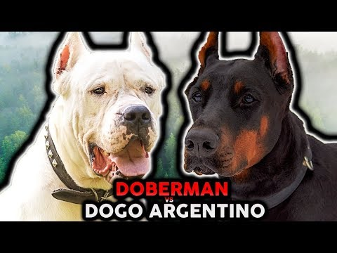 DOGO ARGENTINO VS DOBERMAN! The Best Guard Dog Breed For First Time Owners!