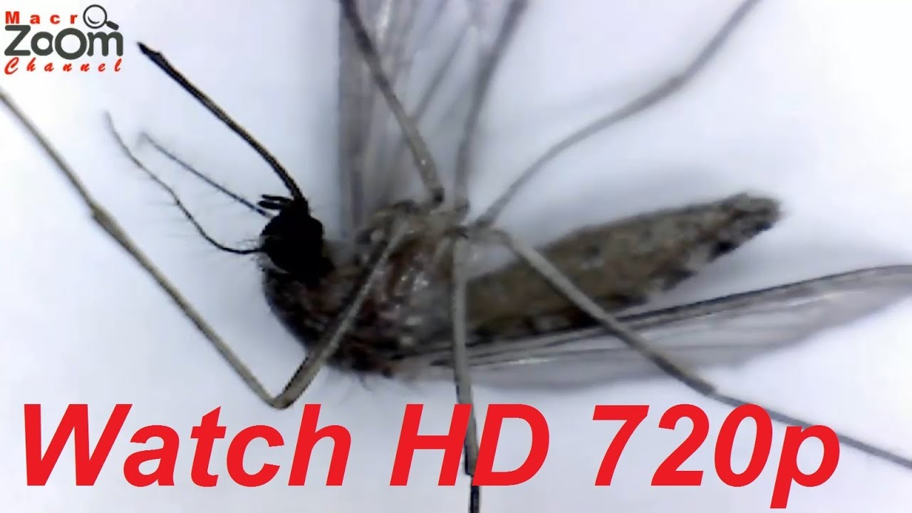 Mosquito-Gnat (Close-Up Anatomy) - YouTube