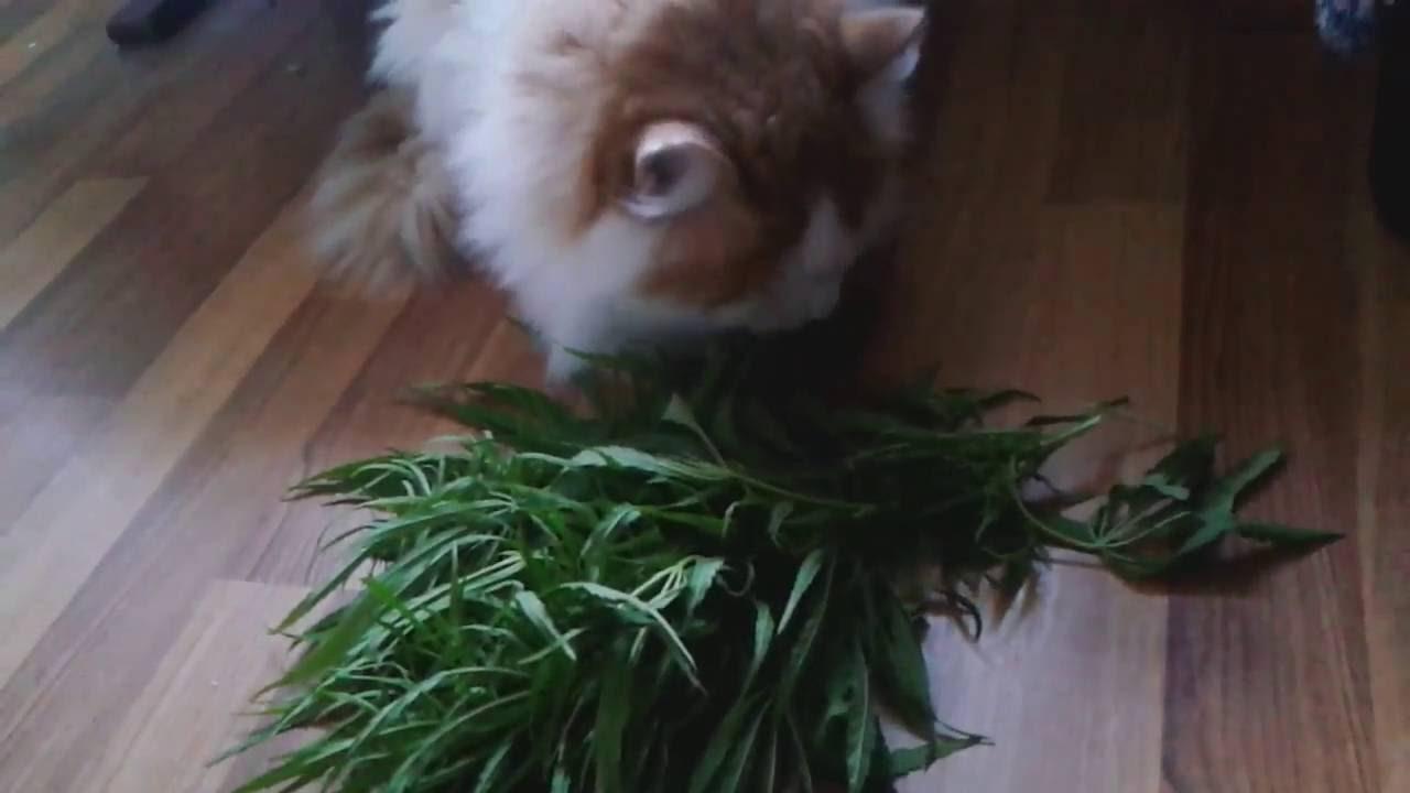 Кот с коноплей как делают мягкий из конопли