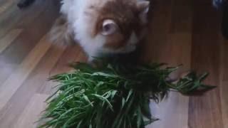 Кот и конопля