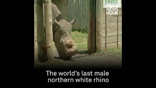 The last male northern white rhino dies