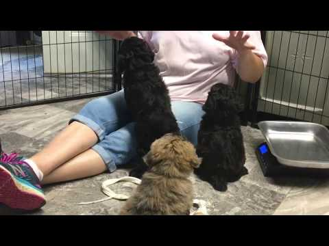 Brandy's schnoodle puppies last video before they go home 6-16-17