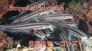 危険生物 ゴンズイ Barbel eel Japanese eel catfish Striped eeltail catfish